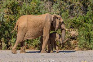 Desert elephants in the Hoanib riverbed Kaokoland